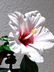 Hibiskus Roseneibisch Blüte rot weiß