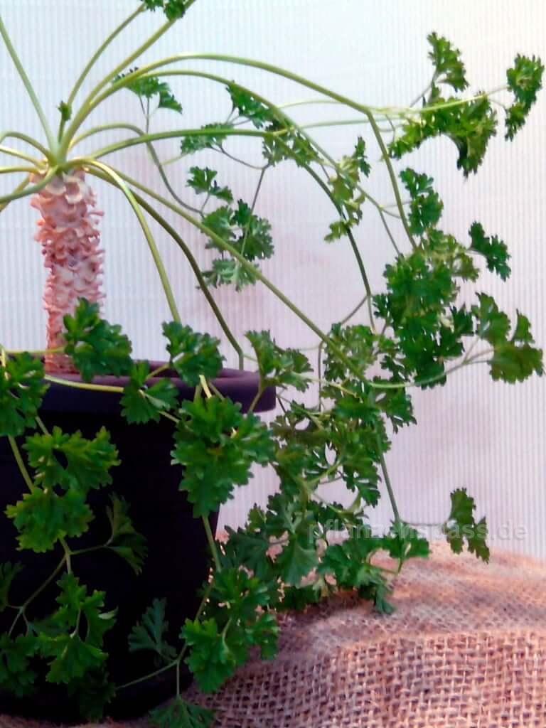 Bonsai Petersilie kann frostfrei im Zimmer überwintern