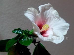 Roseneibisch aufgeblühr