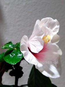 Hibiskus Blüte am vierten Tag
