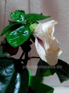 neun Tage alte Hibiskusblüte