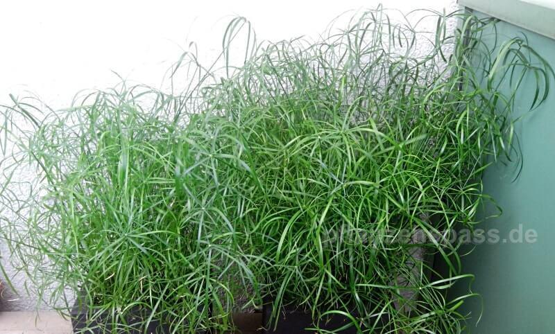 Pflanzkübel mit Zyperngras Balkonpflanze