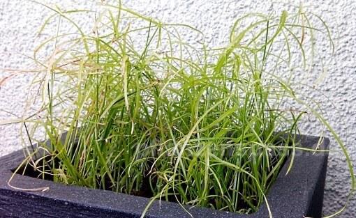 zyperus alternifolius Zyperngras im Balkonkasten