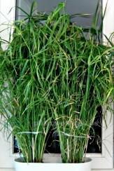 cyperus alternifolius wasserverbrauch Zyperngras 1