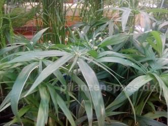 Zyperngras cyperus diffusus mit Blüten