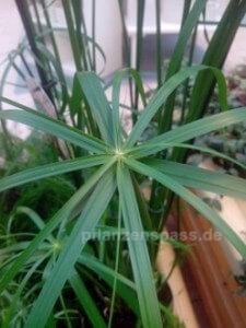 Zyperngras cyperus glabor Blätter Form