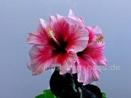 Hibiskus doppelte Blüte