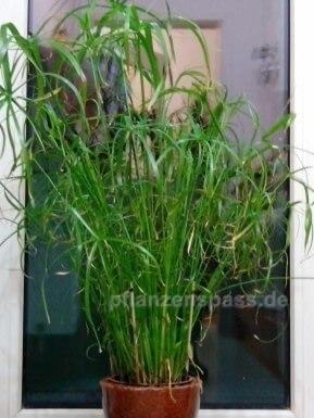 Cyperus alternifolius in Glas-Vase mit Granulat als Hydrokultur