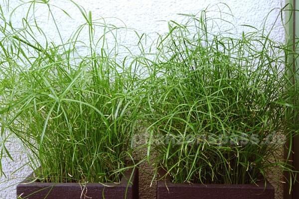 Freiland Zyperngras alternifolius Vergleich Zimmerpflanze