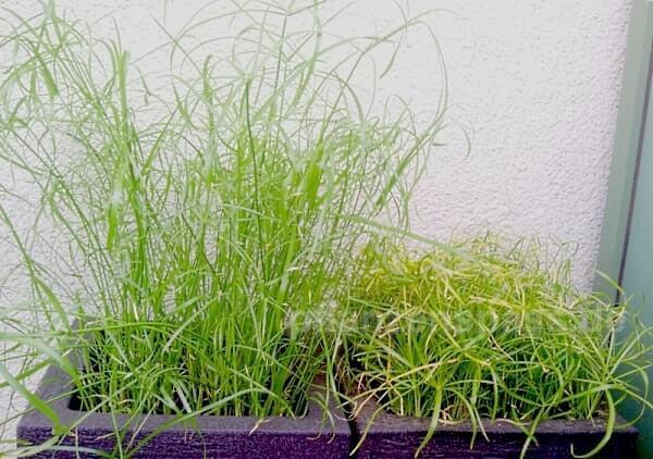 alternifolius Balkonpflanze Größenvergleich