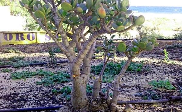 alter crassula auf Fuerteventura