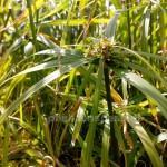 Blüte cyperus alternifolius
