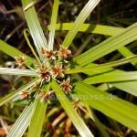 Nahaufnahme Blüte alternifolius