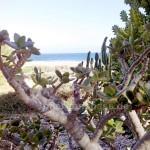 Fuerteventura crassula kurz vor Afrika