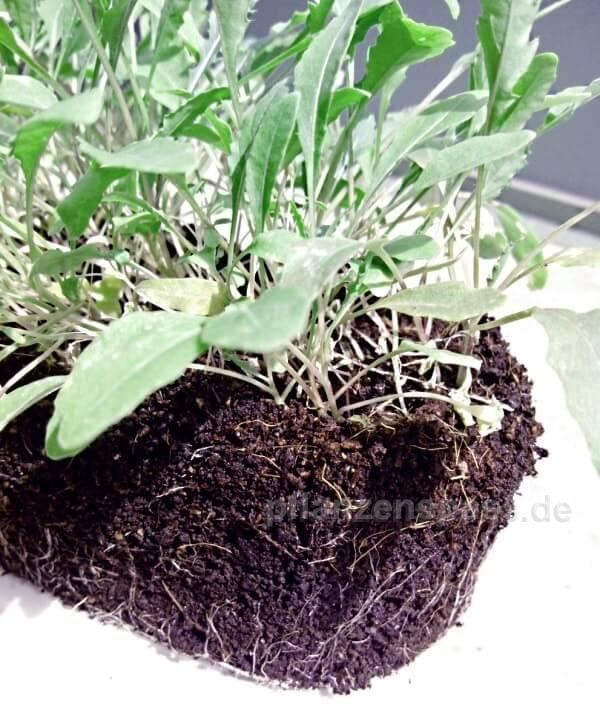 Rukola Jungpflanzen mit kräftigem Wurzelballen