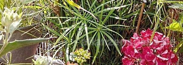 zyperngras auf der Terrasse blüht