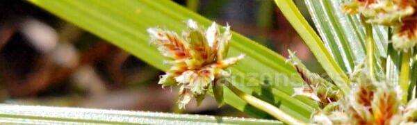 alternifolius Blüte Vergrößerung