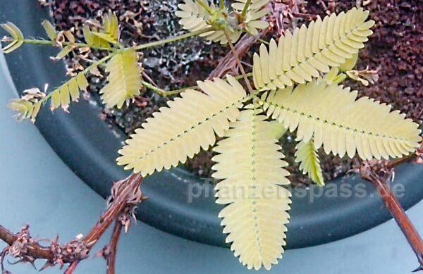 mimose gelbe blätter durch nässe oder staunässe