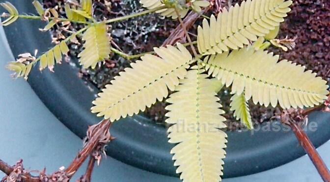 mimosa pudica gelbe blätter bei Nässe