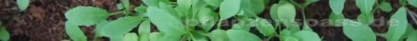 Rukola dritte woche Aussaht Pflanzen Jungpflanzen