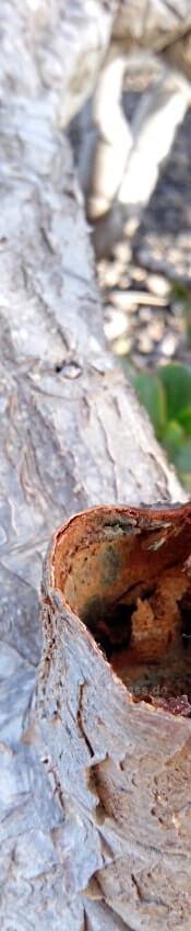 crassula ovata affenbrotbaum im freien auf Fuerteventura