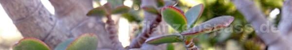 Dickblatt crassula ovata im Freiland