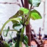 Zimmerpflanze Süßkartoffel Blätter