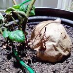 Süßkartoffel in Pflanzschale