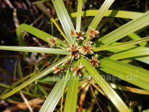 Zyperngras Wasserpalme Blüten Cyperus alternifolius
