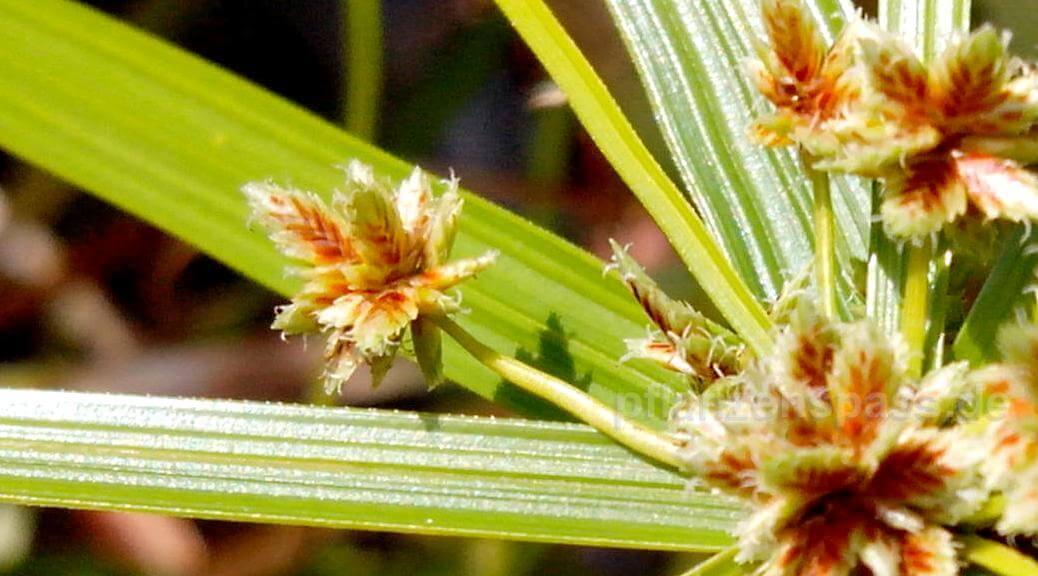 cyperus alternifolius Blütenstände