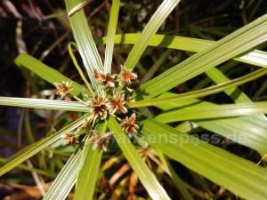 Wasserpalme Blüte