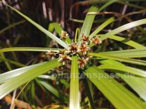Cyperus alternifolius Blüte