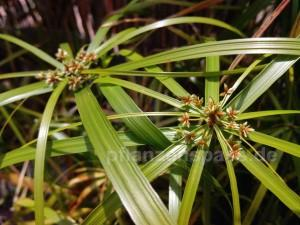 Zypergras Blüten