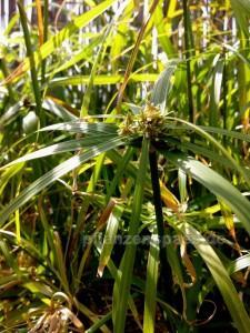 Cyperus alternifolius blüht