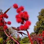 Rhizinus Blütenstände