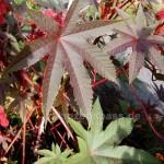 Rizinus Blätter