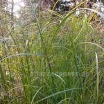 cyperus longus Zyperngras