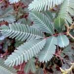 Mimose Neptunia plena Blatt noch aufgeklappt
