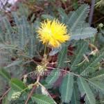 gelbe Blüte der Neptunia plena Wassermimose