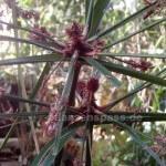 Faser-Zyperngras cyperus textilis