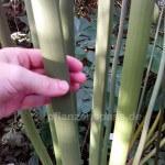 cyperus papyrus Stängel