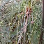 Cyperus papyrus - der Echte