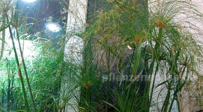 cyperus papyrus vom Balkon ins Zimmer