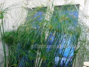 cyperus papyrus im Zimmer