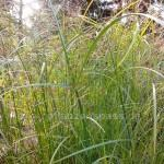 cyperus longus staude am Teichrand