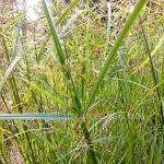 blüte cyperus longus