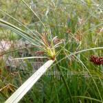 blühender cyperus longus
