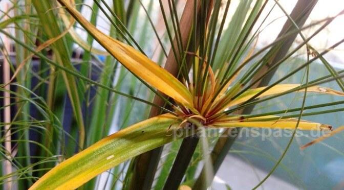 cyperus papyrus gelbe blätter