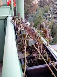 Balkonkasten Süßkartoffel nach Frost