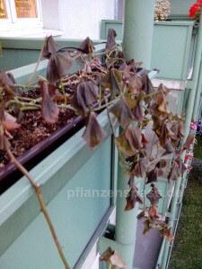 Blätter Süßkartoffel Frostschaden